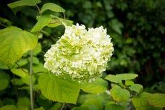 Flores blancas de la luz de calcio de Paniculata de la hortensia Fotografía de archivo libre de regalías