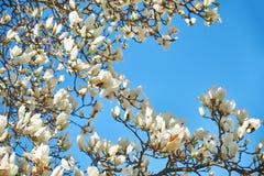 Flores blancas de la magnolia contra el cielo azul imágenes de archivo libres de regalías
