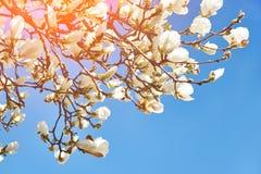 Flores blancas de la magnolia, día soleado fotografía de archivo libre de regalías