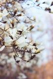 Flores blancas de la magnolia en la puesta del sol Fondo borroso, efecto de la película Imagen de archivo