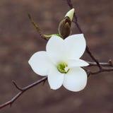 Flores blancas de la magnolia en la puesta del sol Fondo borroso, efecto de la película Fotografía de archivo