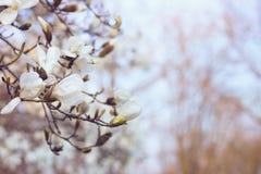 Flores blancas de la magnolia en la puesta del sol Fondo borroso, efecto de la película Foto de archivo libre de regalías