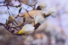 Flores blancas de la magnolia en la puesta del sol Fondo borroso, efecto de la película Imagen de archivo libre de regalías