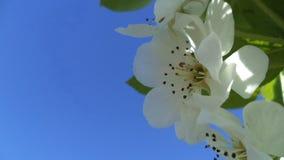 Flores blancas de la manzana imagenes de archivo