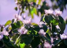 Flores blancas de la manzana Manzanos florecientes hermosos Imágenes de archivo libres de regalías