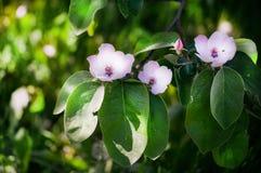 Flores blancas de la manzana Manzanos florecientes hermosos Imagen de archivo libre de regalías