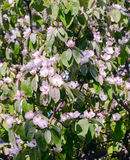 Flores blancas de la manzana Manzanos florecientes hermosos Imagen de archivo