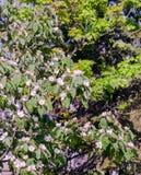 Flores blancas de la manzana Manzanos florecientes hermosos Foto de archivo libre de regalías