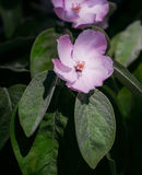 Flores blancas de la manzana Manzanos florecientes hermosos Fotografía de archivo libre de regalías