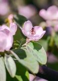 Flores blancas de la manzana Manzanos florecientes hermosos Imagenes de archivo