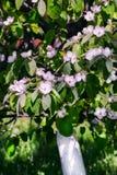Flores blancas de la manzana Manzanos florecientes hermosos Fotografía de archivo