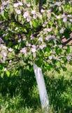 Flores blancas de la manzana Manzanos florecientes hermosos Fotos de archivo