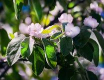 Flores blancas de la manzana Manzanos florecientes hermosos Fotos de archivo libres de regalías