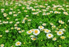 Flores blancas de la manzanilla Fotos de archivo