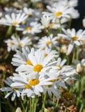Flores blancas de la manzanilla Imágenes de archivo libres de regalías