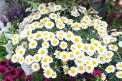Flores blancas de la manzanilla Fotografía de archivo