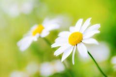 Flores blancas de la margarita de los camomiles en prado verde Foto de archivo libre de regalías