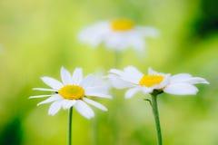 Flores blancas de la margarita de los camomiles en prado verde Fotografía de archivo