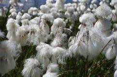 Flores blancas de la montaña Imagen de archivo libre de regalías
