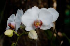 Flores blancas de la orquídea Fotografía de archivo libre de regalías