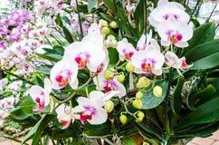 Flores blancas de la orquídea Fotos de archivo libres de regalías