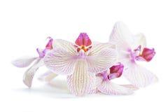 Flores blancas de la orquídea aisladas en el fondo blanco Foto de archivo