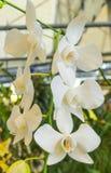 Flores blancas de la orquídea con la hoja verde Imagenes de archivo