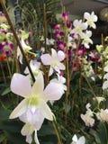 Flores blancas de la orquídea del primer con el fondo de las flores púrpuras y blancas de la orquídea fotos de archivo