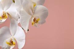 Flores blancas de la orquídea en un fondo rosado Foto de archivo libre de regalías