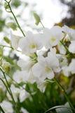 Flores blancas de la orquídea, Singapur fotografía de archivo libre de regalías