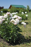 Flores blancas de la peonía en el jardín Fotos de archivo libres de regalías