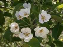 Flores blancas de la pera Fotografía de archivo