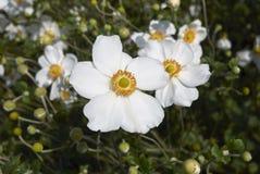 Flores blancas de la planta del japonica de la anémona Imagen de archivo