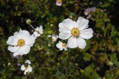 Flores blancas de la planta del japonica de la anémona Fotos de archivo