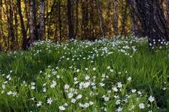 Flores blancas de la primavera Foto de archivo libre de regalías
