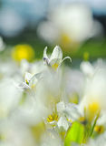 Flores blancas de la primavera Fotografía de archivo