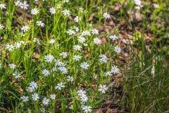 Flores blancas de la primavera de la anémona de madera en un bosque Imagenes de archivo