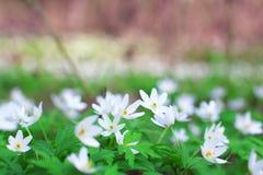 Flores blancas de la primavera de la anémona en bosque Imagen de archivo