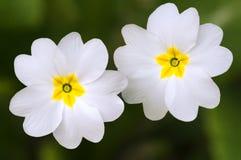 Flores blancas de la primavera de las primaveras Fotografía de archivo libre de regalías