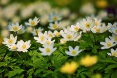 Flores blancas de la primavera en el bosque Fotos de archivo libres de regalías