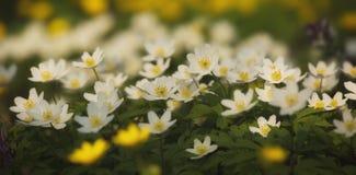 Flores blancas de la primavera en el bosque Fotografía de archivo libre de regalías