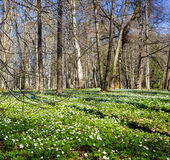 Flores blancas de la primavera en el bosque en el día soleado foto de archivo