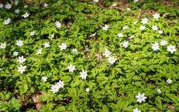 Flores blancas de la primavera en el bosque en el día soleado fotografía de archivo libre de regalías