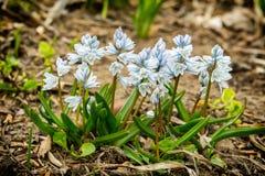 Flores blancas de la primavera en el jardín Fotografía de archivo libre de regalías