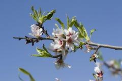 Flores blancas de la primavera en un árbol contra el cielo azul Foto de archivo