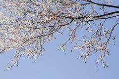 Flores blancas de la primavera en un árbol contra el cielo azul Imagen de archivo libre de regalías