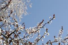 Flores blancas de la primavera en un árbol contra el cielo azul Flores de las flores de cerezo de la primavera Imágenes de archivo libres de regalías