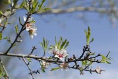Flores blancas de la primavera en un árbol contra el cielo azul Flores de las flores de cerezo de la primavera Fotografía de archivo