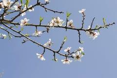 Flores blancas de la primavera en un árbol contra el cielo azul Flores de las flores de cerezo de la primavera Fotos de archivo libres de regalías