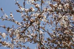 Flores blancas de la primavera en un árbol contra el cielo azul Flores de las flores de cerezo de la primavera Imagen de archivo